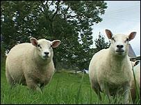 Sheep at a farm in Brecon