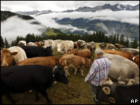 Farmer and herd of cows in the Alps (Image: AP)