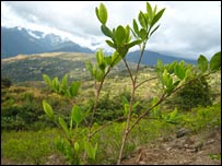 Coca bush in the Yungas region