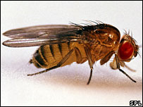 Fruitfly (Drosophila melanogaster)