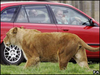 A lion at a safari park