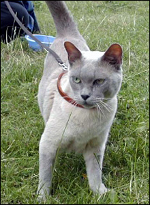 A lilac Burmese, his pedigree name was 'Kaemm Bonzo' but known as 'Lenny'