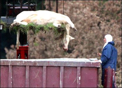 A dead cow