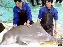 Delfín de agua dulce del río Amarillo, en China
