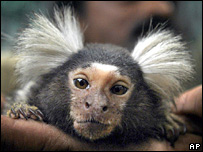 A marmoset monkey - archive picture