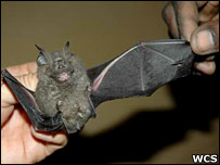 New bat species (Andy Plumptre/Wildlife Conservation Society - one use only)