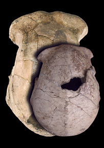 The particularly small Homo erectus find, shown from above with the large skull from Olduvai (Tanzania) to demonstrate the gorilla-like size variation of the species. Credit: National Museums of Kenya