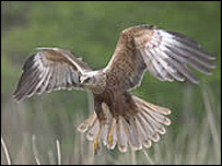 Marsh harrier over reed bed (RSPB/Graham Catley)