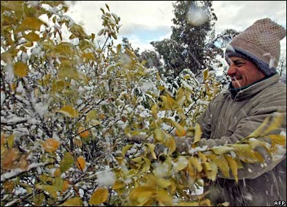 A man brushes snow from a mandarin tree in Colina, some 25 km north of Santiago