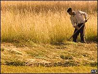 Man cutting grass with scythe