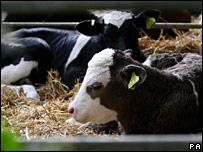 Calves at farm in Romney Marsh, Kent