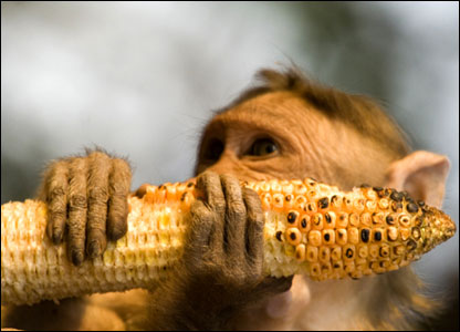 Monkey eating a banana Monkey