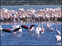 Flamingos in the Camargue region