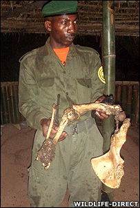 Ranger hold the remains of female gorilla (Image: WildlfeDirect)