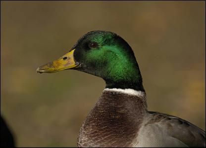 Mallard (Pic: Sue Tranter/rspb-images.com)