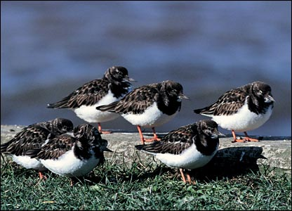 Turnstones (Pic: Andy Hay/rspb-images.com)