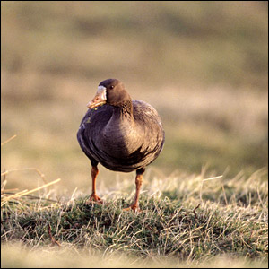 Greenland white-fronted goose (Pic: Andy Hay/rspb-images.com)