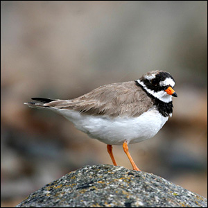 Ringed plover (Pic: Tom Marshall/rspb-images.com)