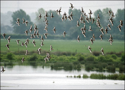 Black-tailed godwits (Pic: Chris Gomersall/rspb-images.com)