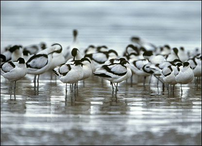 Avocets (Pic: Andy Hay/rspb-images.com)