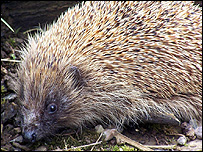 Hedgehog (Image: Uist Hedgehog Rescue Centre)