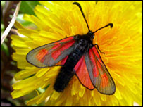 Slender scotch burnet. Picture courtesy of Butterfly Conservation Scotland