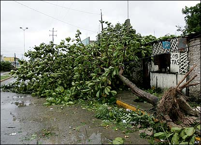 A tree is seen ripped out of the ground in Felipe Carrillo Puerto, Mexico