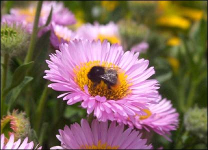 Bumble bee visiting a flower in Tenby, taken by Andy from Cross Hands, Carmarthenshire