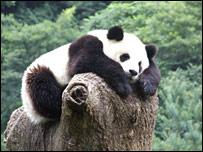 Giant panda at the Wologong Giant Panda Research Centre