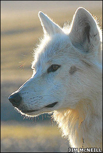 A wolf nicknamed Lucy (Image: Jim McNeill)
