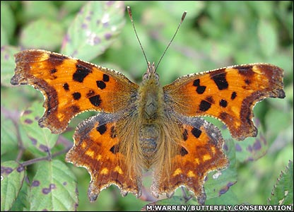 Comma butterfly (Image: Martin Warren/Butterfly Conservation)
