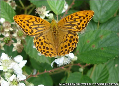 Silver-washed fritillary (Image: Martin Warren/Butterfly Conservation)