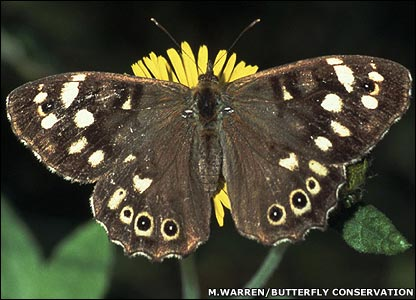 Speckled wood (Image: Martin Warren/Butterfly Conservation)