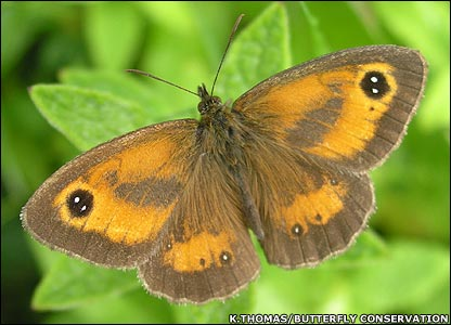Gatekeeper butterfly (Image: Kelly Thomas/Butterfly Conservation)