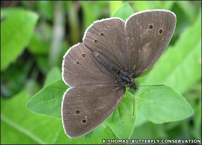 Ringlet butterfly (Image: Kelly Thomas/Butterfly Conservation)