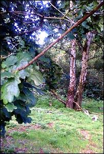 Oak trees (Image: BBC)
