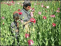 Opium poppies in Afghanistan