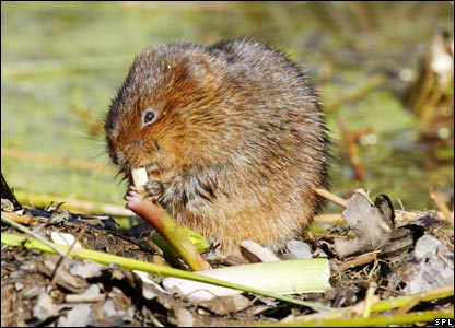 Water vole (Image: Science Photo Library)
