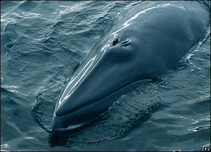Minke whale (Image: Science Photo Library)