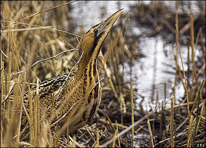 Great bittern (Image: Science Photo Library)