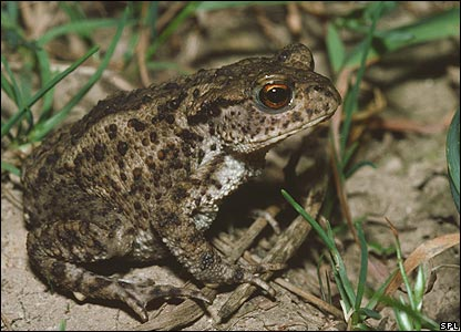 Common toad (Image: Science Photo Library)