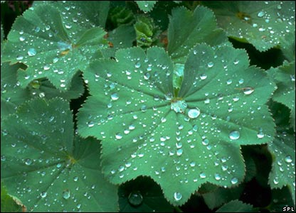 Lady's mantle (Image: Science Photo Library)