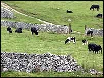 Cows grazing at Ingleborough Nature Reserve