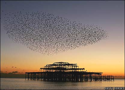 A flock of birds wheel over Brighton's derelict West Pier