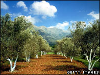 Olive groves in Greece
