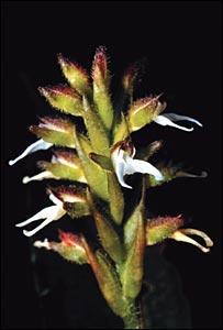 Ligeophila  Image: Gustavo Romero