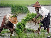 Plantación de arroz en Birmania