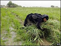 Plantación de arroz en Irak