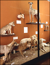 Some of the dogs on display at the Natural History Museum at Tring (Pic: Natural History Museum)