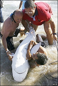 Barcelona biologists capture a Mediterranean grey nurse shark in Tarragona on 20 August